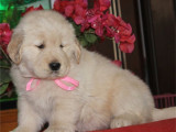 甘肃兰州冠军级金毛犬价格