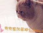 自家养的加菲猫,找新家啦