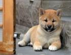 深圳哪里卖宠物狗 纯种柴犬多少钱 深圳纯种柴犬价格