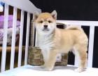 哈尔滨哪里有柴犬卖 纯种日系柴犬 赤色柴犬 柴犬犬舍