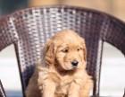 精品顶级血统金毛寻回犬狗狗 健康品质保证