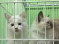 2个月双色布偶猫公