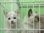 2個月雙色布偶貓公