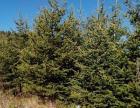 出售云杉、花楸绿化树
