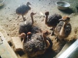 非洲鸵鸟苗多少钱一只
