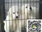 大白熊大概多少钱 大白熊大约多少钱 一条大白熊多少钱