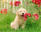 较忠诚的犬金毛犬 专做高端品质小狗 品相品质**