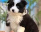 重庆里出售边境牧羊犬 重庆哪家宠物店信誉好