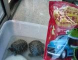 出售小乌龟直径10厘米左右