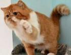 签署质保 正规猫舍售高品质纯血统 加菲猫 对外借配