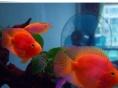 发财鱼财神鱼小型血鹦鹉各种尺寸特价出售