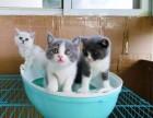 泰安优宠名猫 专业繁育 美短 英短 加菲 布偶等世界名猫