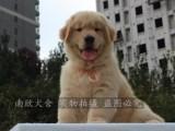 自家养殖金毛幼犬出售 赛级枫叶红 深圳双血统金毛犬 健康质保