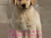 专业繁殖巡回猎犬金毛--温顺导盲犬-签协议保健康教喂养