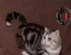 几只美短起司猫,加白漂亮没毛病