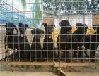 纯种黑狼犬幼崽多少钱 纯种黑狼犬幼崽价格