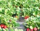 大家好:我是草莓种植主人小田邀请大家光临,先尝后摘