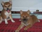 兰州犬舍出售精品柴犬一血统纯正一纯种健康