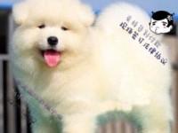 专业繁殖熊版/奥版萨摩耶丨现场协议 负责教你养好