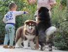 西昌卖狗西昌卖阿拉斯加西昌买阿拉斯加西昌狗场出售阿拉斯加