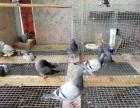 出售自家鸽子,粮食喂养