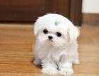 自家繁殖精品马尔济斯幼犬 包健康包售后