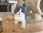 正规猫舍出售纯种英国蓝白短毛猫