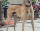 格力犬养殖场出售格力犬惠比特格惠串灵缇犬细狗价格