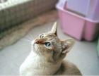 家养纯虎斑暹罗小猫预定
