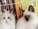 布偶猫种公,开脸,满耳满背