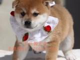 佛山柴犬犬舍哪个好 佛山哪里有卖纯种柴犬 柴犬幼犬价格多少