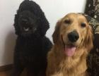 成年纯黑巨型贵宾 巨贵 种公 配种 公狗 可先看狗