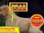 金毛犬 专业繁殖、只做精品、签协议、售后包三年