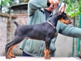 精品德系杜宾犬幼犬活体时尚之选 高品质赛级冠军血统