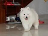 上海 純種薩摩耶幼犬 疫苗齊全出售中 可簽協議健康保障