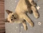 自家养的暹罗猫