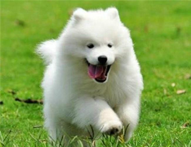 犬舍直销拉布拉多 哈士奇 金毛等各种名犬嘉兴哪里有卖哈士奇的