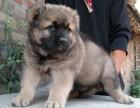 大连出售纯种高加索幼犬活体巨型大骨量高加索犬双