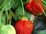无公害奶油草莓