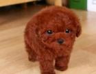 出售精品纯种幼犬泰迪 茶杯犬玩具型小体泰迪
