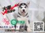 家养三火蓝眼哈士奇幼犬,签合同包健康纯种