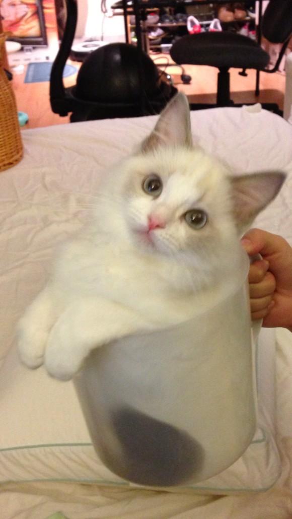 大连哪里有布偶猫卖 海豹双色 重点手套均有CFA认可多只可挑