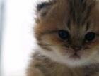 折耳猫宝宝可预定