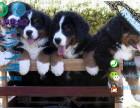自家大狗生的一窝伯恩山犬可以来家里看大狗品相