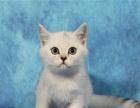 出售纯种蓝猫 英短蓝白 英短渐层幼猫 宠物猫活