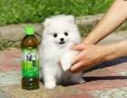 闵行哪里有博美犬卖 闵行博美犬价格 闵行博美犬多少钱