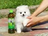 广州养殖基地直销博美犬及其它幼犬 签协议 送用品