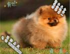 家养纯种博美犬便宜出售了 喜欢的可以加我详聊