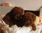 成都出售高品質泰迪犬 簽協議包建康 上門挑選可優惠