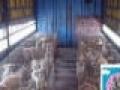 肉狗苗肉食狗小狗崽出售要的速定